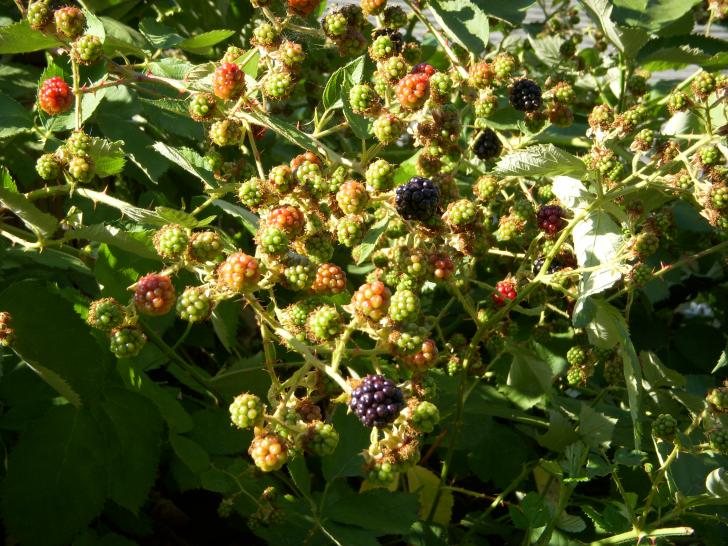 A photo taken in my back yard in Spokane of an unripe blackberry bush.