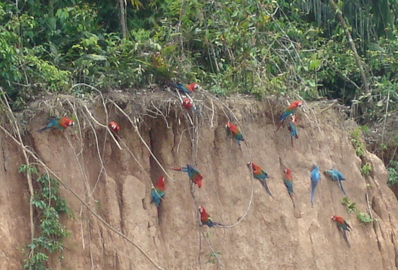 Macaws eating at a clay lick